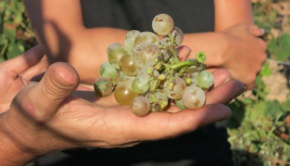 Grillo grapes grown in Nino Barraco's Vignammare vineyard in West Sicily