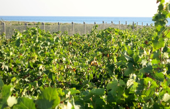 Nino Barraco's Vignammare vineyard for Grillo grapes in West Sicily