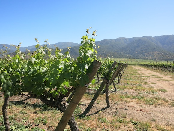 Vines with Andes Mountains in the background, Chile