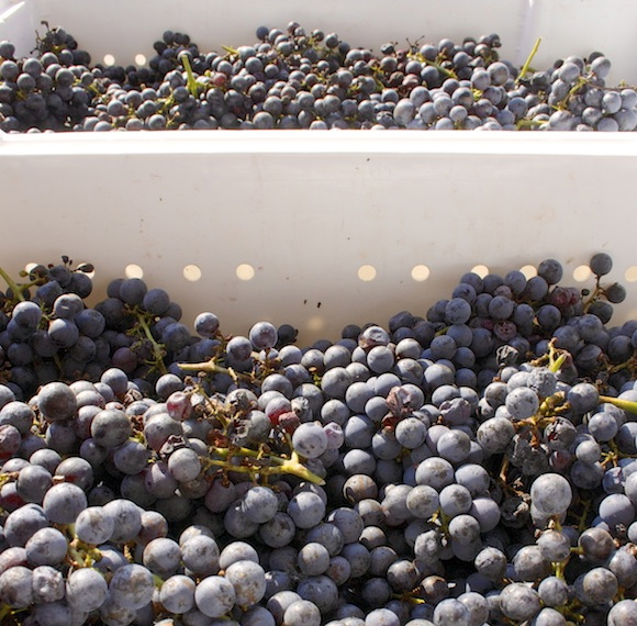 Just-harvested Cabernet Sauvignon grapes at Boxwood Winery, VA