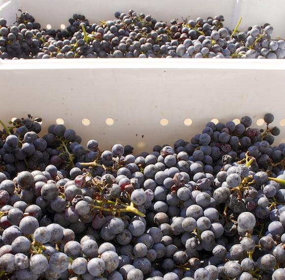 Just-harvested Cabernet Sauvignon grapes at Boxwood Winery, VA