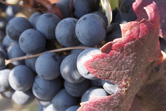 Wine - Alicante Bouschet grapes at Ridge Lytton Springs Vineyard