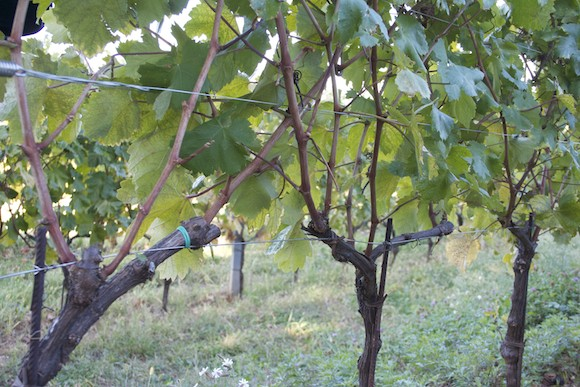 Albarello trained vines in the Carso wine region of Friuli