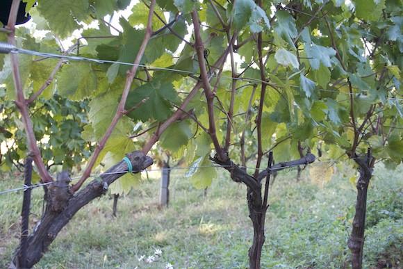 Albarello trained vines in the Carso wine region of Friuli