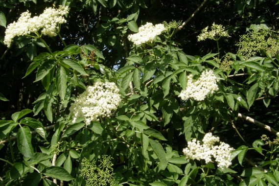 An English hedgerow of Elderflowers