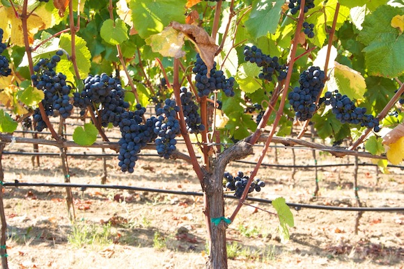 Ripe Pinot Noir grapes on the vines at Arista winery in Russian River Valley, Sonoma