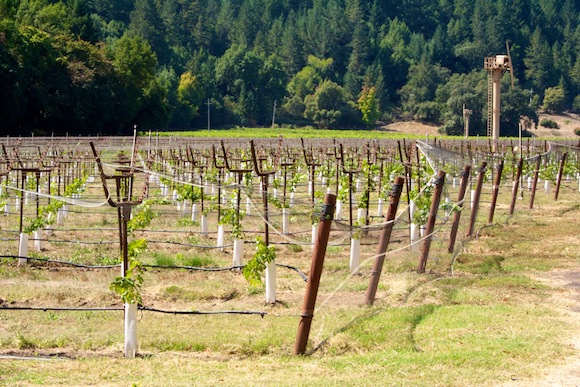Russian River Valley, Sonoma, newly grafted vines