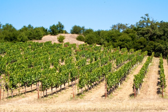 Vines on a hillside in the Russian River Valley