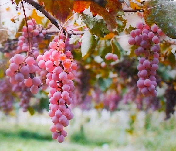 koshu grapes of Japan on vines